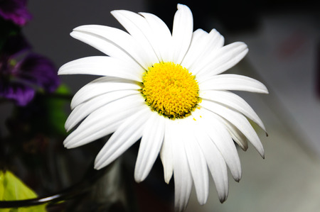 vulgare: close view of a daisy, Leucanthemum vulgare Stock Photo