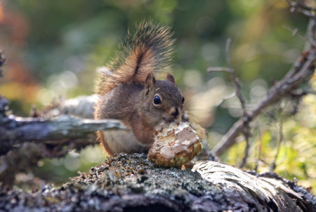 close up of a red squirrel in motion eating on a trunk into forests of Quebec, Canada photo