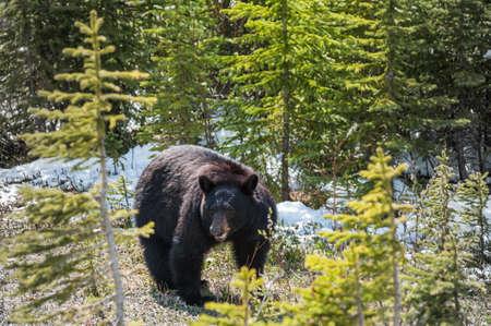 ursus americanus: encounter with a black bear in Jasper National Park, Alberta,Canada