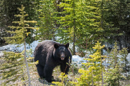 omnivore animal: encounter with a black bear in Jasper National Park, Alberta,Canada