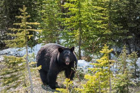 oso negro: encuentro con un oso negro en el Parque Nacional Jasper, Alberta, Canadá