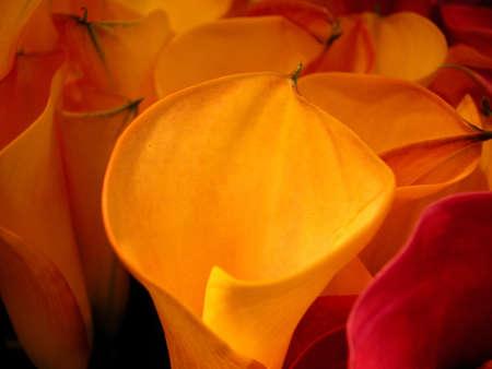 lys: orange Lys