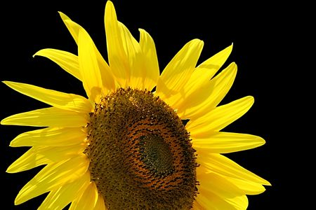 Sunflower lifts Its head to the sky