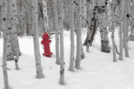 amongst: A bright red fire hydrant standing in the snow amongst a grove of barren aspen trees