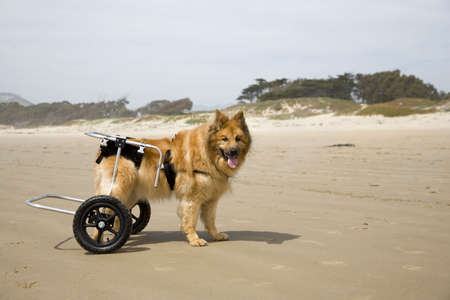 A differently-abled dog on the beach Stock Photo - 414608