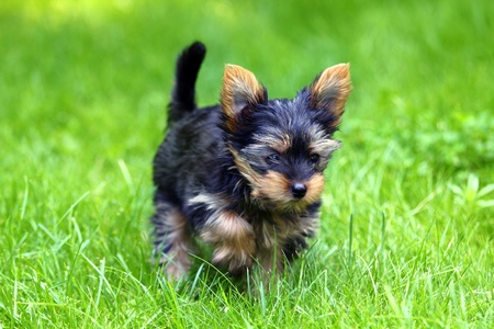 Beautiful Young Yorkshire Terrier is having fun  photo