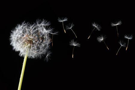 blowing dandelion: dente di leone nel vento Archivio Fotografico