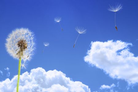 flying float: Dandelion seeds flying in the blue sky