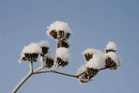 Frost and snow on the dried winter vegetation photo