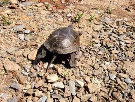 escapes: Turtle escapes Stock Photo