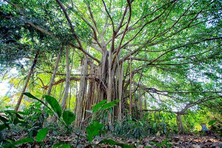 boom wortels: Enorme boomwortels in een tropisch bos. Stockfoto