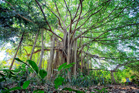 big scenery: Huge tree roots in a tropical forest.