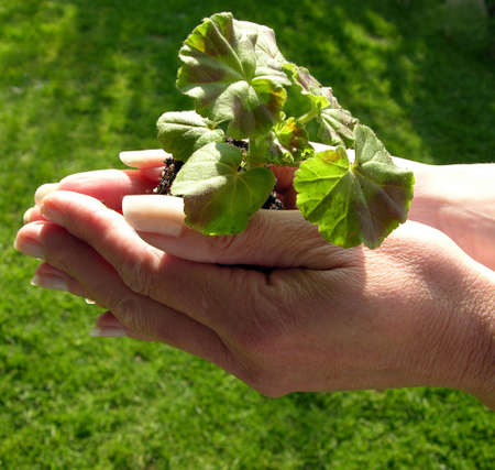 abound: Hands holding a young plant and praying it will flower well.           Stock Photo