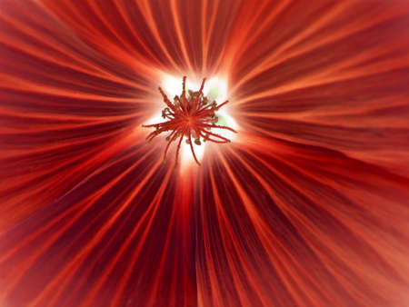 inverted: The bright red malva flower - inverted close-up