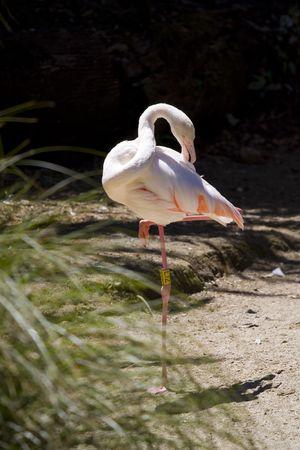 phoenicopterus: Greater Flamingo (Phoenicopterus roseus)