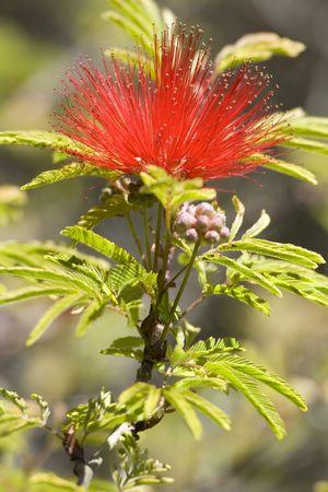 referred: Tree Pohutuakawa flower, also referred to as the New Zealand  Tree Stock Photo
