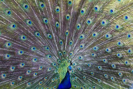 common peafowl: Common peafowl (Pavo cristatus)