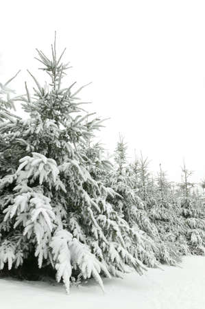 Winter scene of snow covered fir trees photo