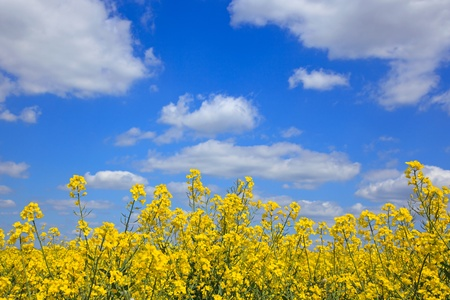 Yellow rapeseed flowers against a bright blue sky with white clouds on a sunny day as spring turns into summer  photo