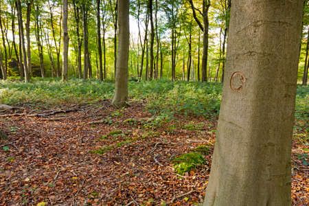 The recycle symbol carved into a tree in managed woodland. This tree was marked to be cut down as part of a forestry clearing project.