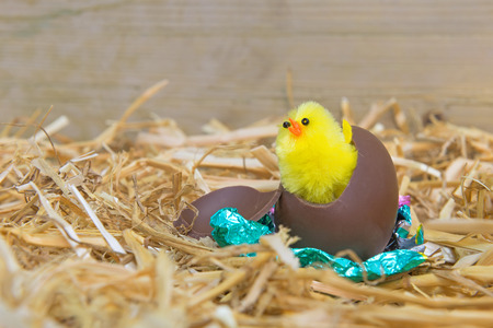 breaking out: A fluffy yellow Easter chick breaking out from a chocolate egg in a barn. Stock Photo