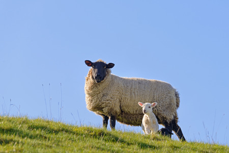 lambing: Sheep on a hillside with a new spring lamb