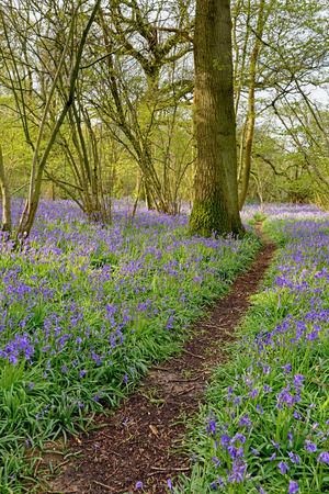 hampshire: A footpath leading through a woodland with a carpet of spring bluebells. Stock Photo