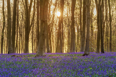 hampshire: Sunlight bursting through the trees just after dawn in a beech woodland full of bluebells near to Micheldever in Hampshire, England. Stock Photo
