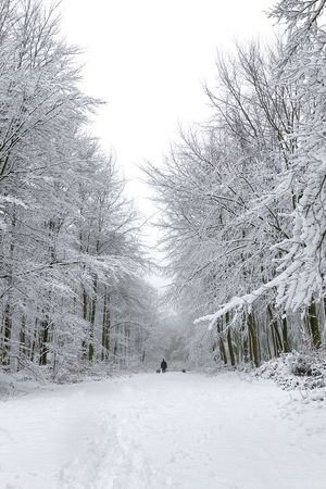 snowscene: Man walking two dogs in a snow covered forest