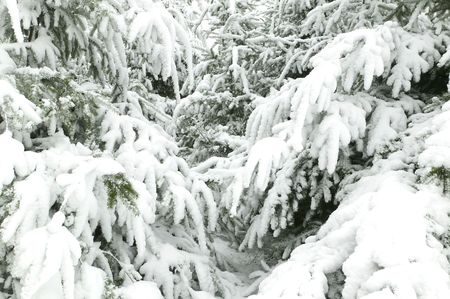 snowscene: Branches of fir trees covered in fresh snow, suitable for backgrounds