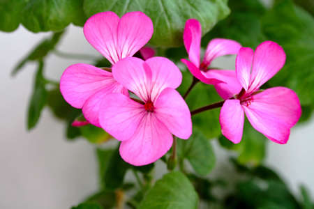 Detail of the flowers of a pink geranium. photo