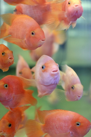 The parrot fishes are in an Aquarium photo