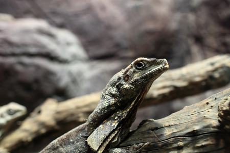 terrarium: Frill-necked lizard on a stick at terrarium Stock Photo