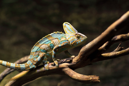 terrarium: Green basilisk on the stick at terrarium Stock Photo