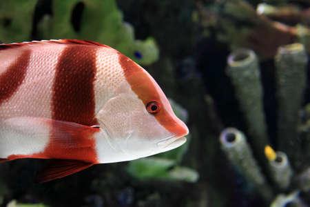 oceanarium: Red and white striped fish in the oceanarium