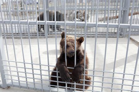 behind bars: Tired bear behind bars in a zoo