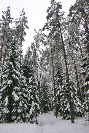 Forest In Winter Stock Photo - 2162911