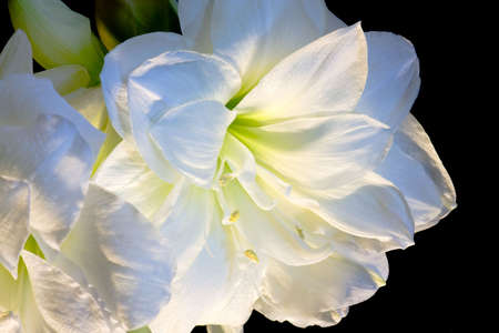 White amaryllis detail  photo
