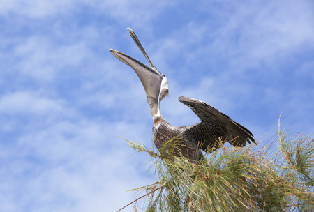 stirrup: The pelican stretching on a top of a tree (Little Stirrup Cay, The Bahamas). Stock Photo