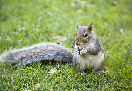 boston common: The close view of a squirrel with a nut in Boston Common park.