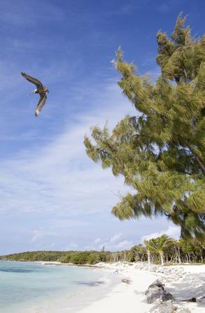 stirrup: The pelican flying over an empty beach on Little Stirrup Cay uninhabited island (The Bahamas).