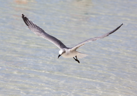 stirrup: The flying seagull just above the water in Little Stirrup Cay beach (The Bahamas).