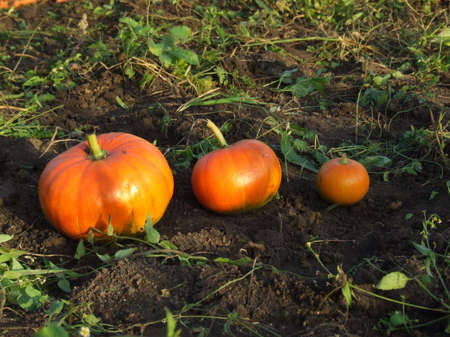 three pumpkins lying on the autumn field