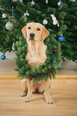 Labrador retriever dog sitting on the floor wearing Christmas wreath photo