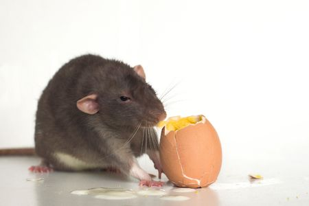 nibbling: Rat eating a boiled egg. Stock Photo