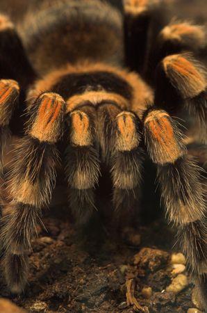dreadful: Tarantula spider Stock Photo