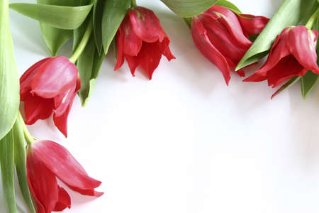 red tulips on white background Stock Photo - 714958