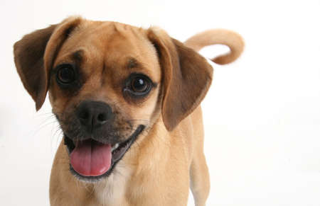 eager: puggle puppy smiling Stock Photo