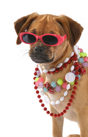 mardigras: a puggle puppy ready to party Stock Photo