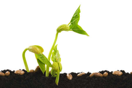 Germinating bean seed in soil against white. Stock Photo